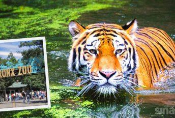 harimau covid