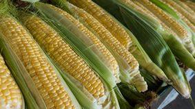 Khasiat jagung mampu mencegah nyanyuk