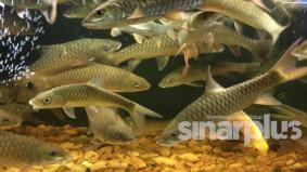 Ikan kelah mampu rawat kulit bagi pesakit kencing manis
