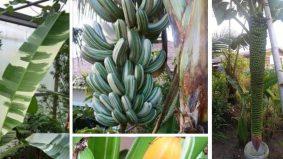 Subhanallah… cantiknya pisang! Orang muda pun teruja