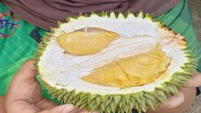 Kegemilangan Durian Paduka, kebanggaan negeri Perak yang ramai tak tahu