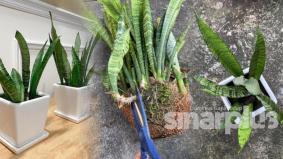 Awas! 4 sebab mengapa pokok lidah mertua tidak sesuai ditanam di dalam rumah