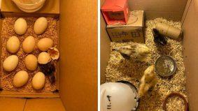 Eram telur ayam sampai menetas… 'kerja giler saya masa PKP' kata Azry