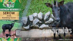 Pertandingan namakan anak kambing gurun jantan, dapat hadiah tiket zoo percuma