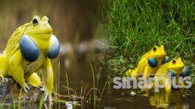Katak kuning tular, ini korang perlu tahu kenapa dia jadi kuning