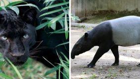 [VIDEO] Harimau kumbang, tapir dalam universiti. Deep jawapan Animal Malaysia mengapa ia berlegar di situ