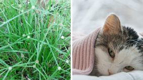 Bantu rawat kucing sakit parvo, selesema atau demam dengan rumput pendul