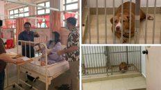 Anjing pitbull serang wanita hingga parah sudah ditangkap, tapi ramai pula yang kasihan…