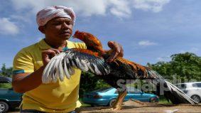 Rezeki Ayam Ratu, harga mampu cecah RM1,000 seekor kini sumber pendapatan